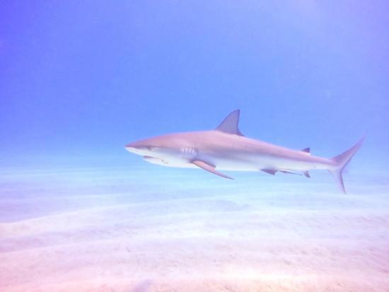 Stella Maris Resort Club Scuba Diving : Shark Dive