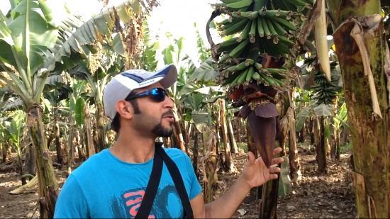 Banana Island (Gezira el-Mozh): Banana