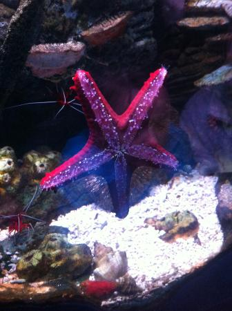 National Sea Life Centre: Red Sea Star