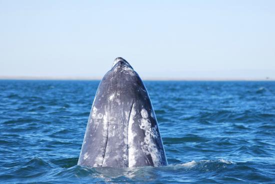 Ecoturismo Kuyima S.P.R. de R.L.: .......balena grigia.