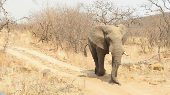 Welgevonden Nature Reserve: Chased by an Elephant in musth!