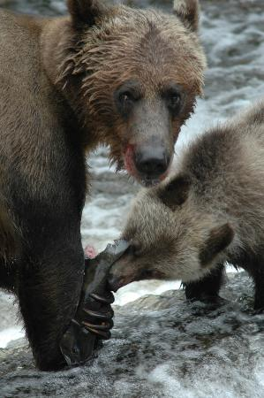 Grizzly Bear Lodge & Safari: Grizzly Bear Viewing in Knight Inlet BC