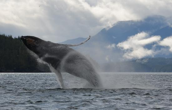 Grizzly Bear Lodge & Safari: frequent humpback sightings