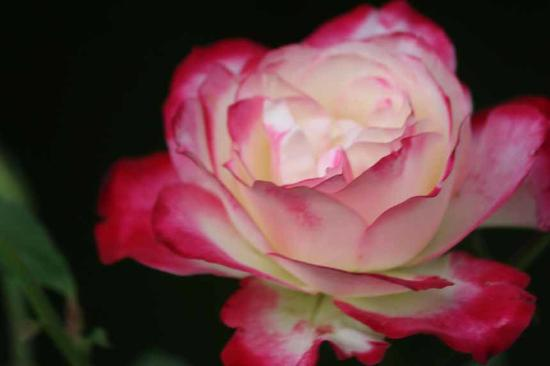 Gerald's Gift Guest House: One of Sue's roses