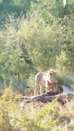 Etali Safari Lodge : Lions having some lunch