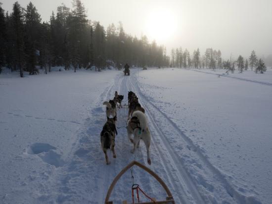Lapland Safaris: un rêve d'enfant réalisé, conduire un traineau