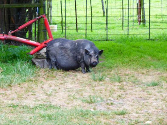 Glen Afton Country House: Friendly piggy on the farm!