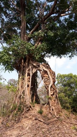 Kampong Thom, Kambodscha: Gate covered by tree
