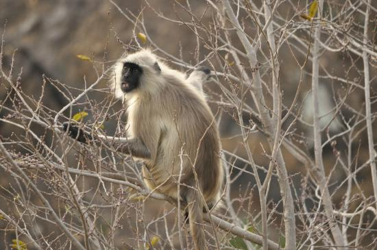 Malwa Retreat: Playful langur at the forest next to hotel