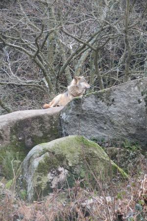 Wolves of Gueret: Loup alpha