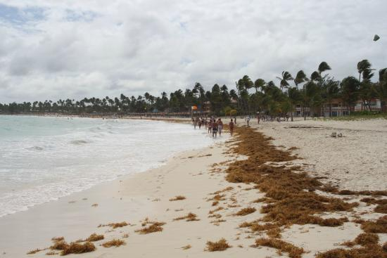 seaweed - Picture of Punta Cana Princess All Suites Resort