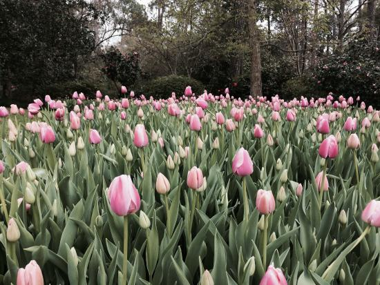 Bayou Bend Collection And Gardens: Tulips Blooming In The Spring