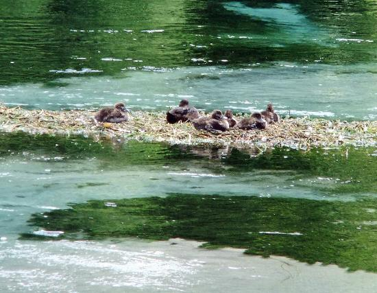 Hamurana Springs Nature Reserve: A haven for ducks