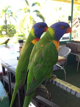 Bush Village Budget Cabins: Friendly lorikeets