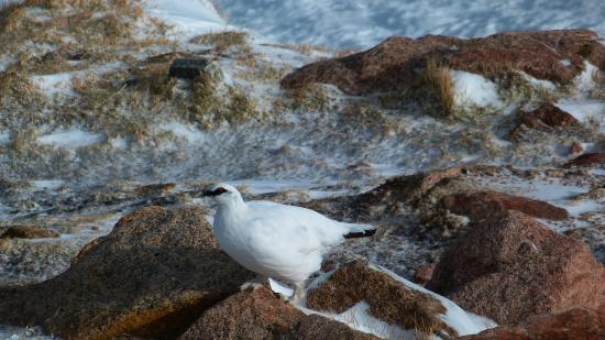 Ptarmigan Dining : Ptarmigan outside the window of the restaurant of the same name.