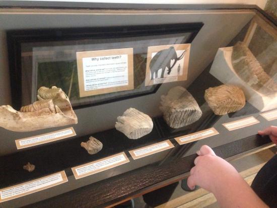 Waco Mammoth Site: Teeth
