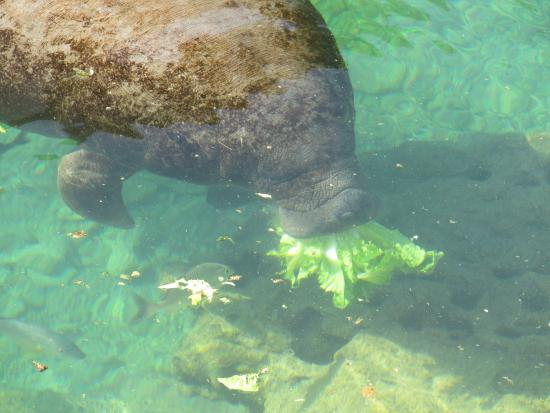 manatee eating lettuce picture of dolphin discovery puerto