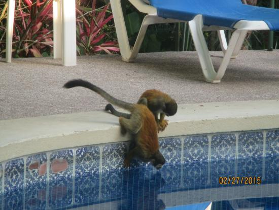 Byblos Resort & Casino: Monkeys checking out the pool