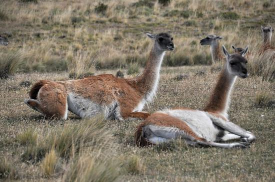 explora Patagonia - All Inclusive: Guanaco