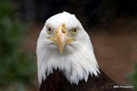 Living Coast Discovery Center: Bald Eagle