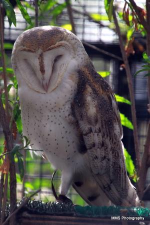 Living Coast Discovery Center: Barn Owl