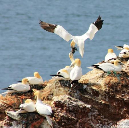 Helgolander Kegelrobben: The nesting site of gannets