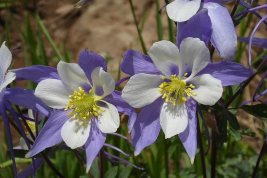 Grand Junction, CO: Columbine, the Colorado State Flower