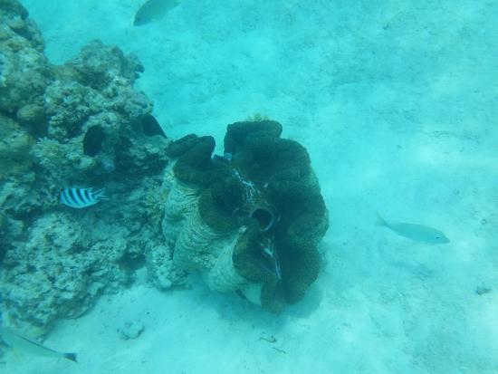 The Vaka Cruise: vaka snorkelling - giant clam