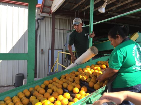 Al's Family Farms: Oranges