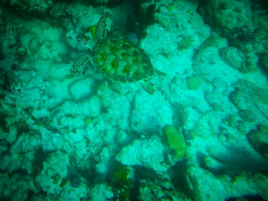 Reef Residences on Grace Bay: Walking distance to Coral Reef.  We found a sea turttle.