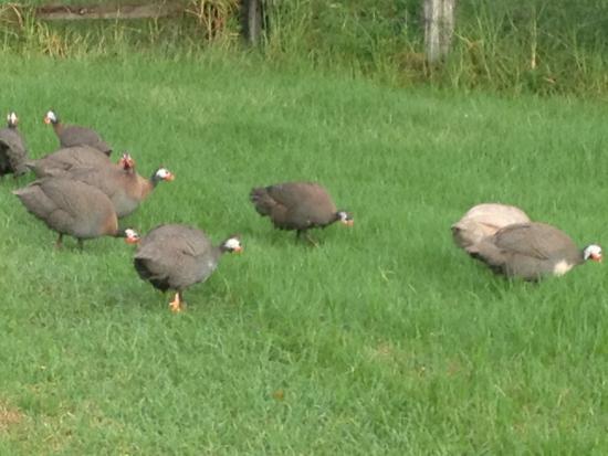 Seaview Farm Retreat : Friendly guinea fowl!