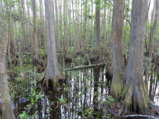 Sebring, FL: Beautiful swamp trail