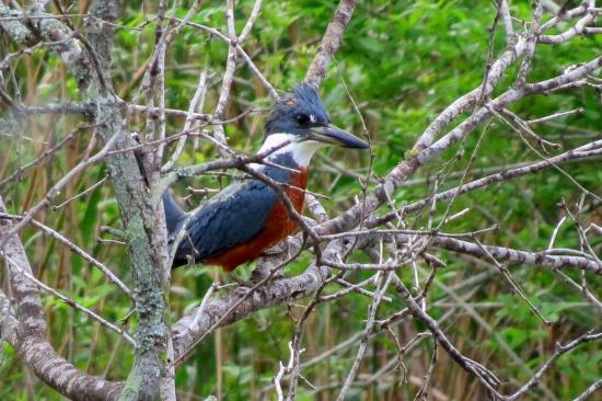 Harlingen, TX: Ringed Kingfisher