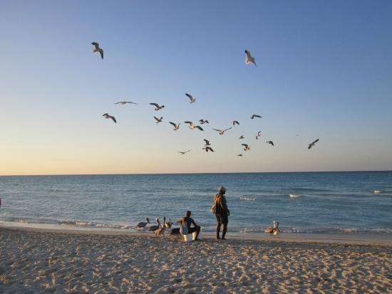 Varadero Beach : Locales atraen a las aves alimentandolas con pequeños peces, Varadero, Peninsula de Hicacos - Cu