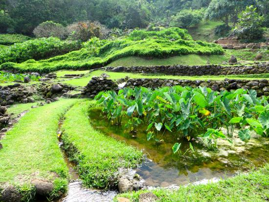 Terraced Taro Fields - Picture of Limahuli Garden and Preserve ...
