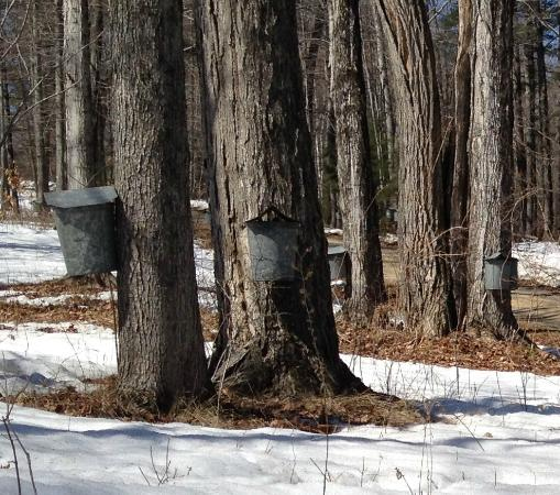 Sutton House Bed & Breakfast: Tapping Maple Sap for pure NH syrup boiled from tree sap right behind the Sutton House.