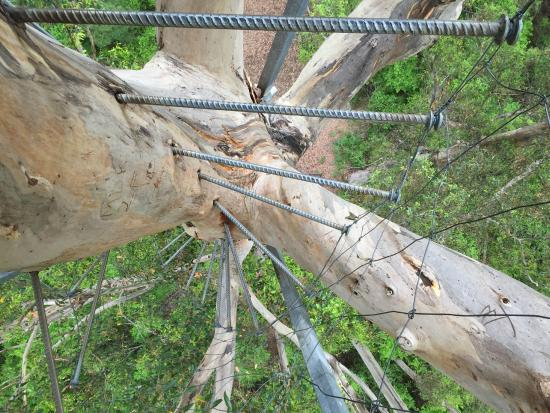 Dave Evans Bicentennial Tree: The pegs used to climb the tree