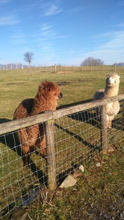 Tyddyn du Farm Luxury Suites: Friendly Llamas!