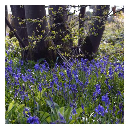 Belmont House and Gardens: Bluebells in our woods