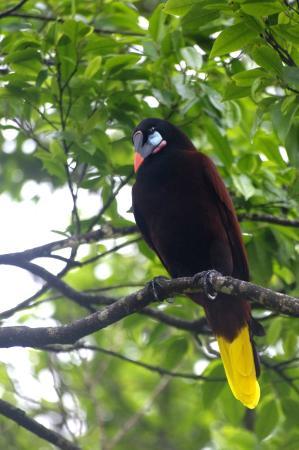 Tortuguero National Park: Oropéndola Gigantesca, la más grande que he visto.