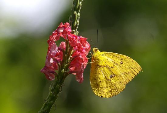 "Tortuguero National Park: Mariposa en una mata de ""Rabo de Zorro"""