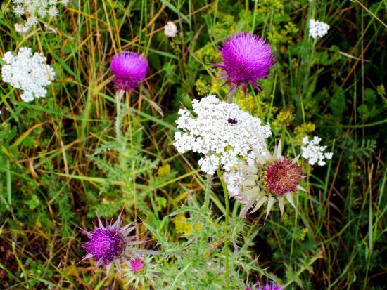 Piana di Castelluccio di Norcia: La fioritura