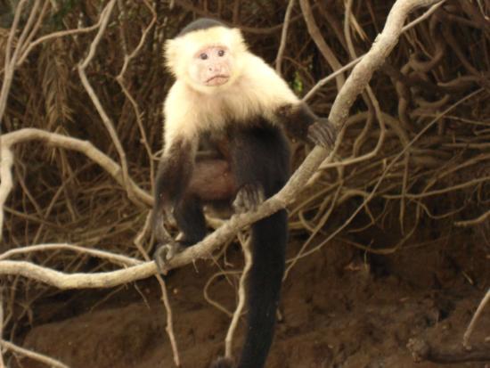 Costa Rica Best Trips : Capuchin Monkey