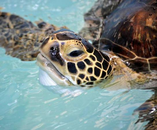 Clinic for the Rehabilitation of Wildlife (CROW): CROW is the only licensed sea turtle rehabilitation facility between Sarasota and Marathon in th