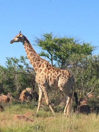 Nambiti Game Conservancy: Giraffe