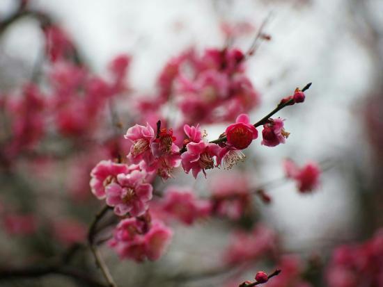 Mogusaen: 2015百草園梅まつり