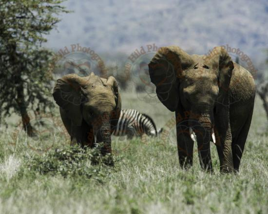 Lewa Wildlife Conservancy: These elephants greeted us daily