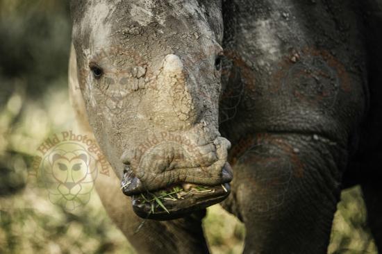 Lewa Wildlife Conservancy: Baby white rhino we had sundowners near