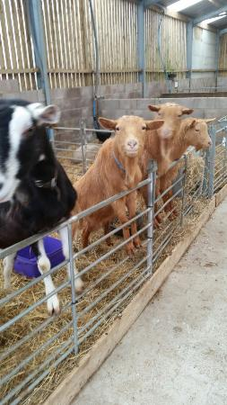 Carnforth, UK: Goats wanting feeding!