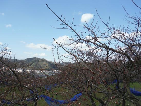 Wakayama Prefecture, اليابان: 2分咲きくらい